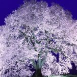 桜 (282)
