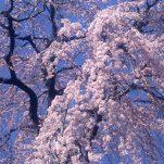桜 (16)