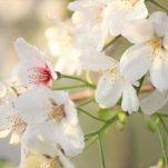 桜 (370)