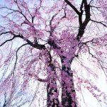桜 (14)