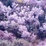 桜 (687)