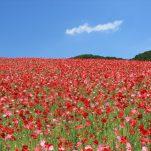 flower (1062)
