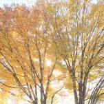 autumn (1386)